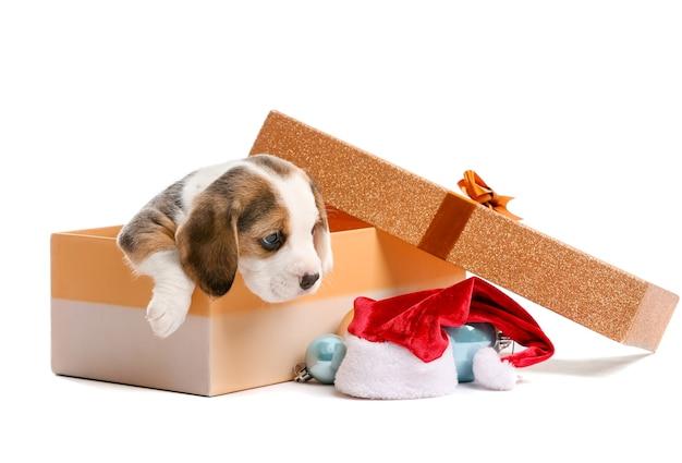 Śliczny szczeniak rasy beagle w pudełku i świątecznym wystroju na białym