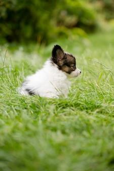 Śliczny szczeniak rasy papillon na zielonej trawie w ogrodzie