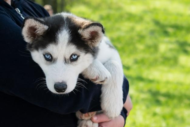Śliczny szczeniak siberian husky czarny i biały z niebieskimi oczami