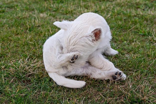 Śliczny szczeniak zachodniego średniogórza białego teriera obsiadanie na łące.