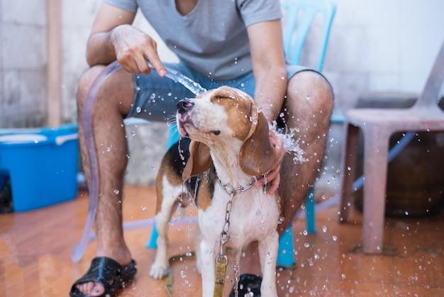 Śliczny szczeniaka beagle bierze prysznic