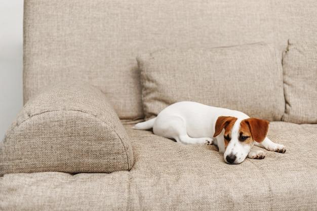 Śliczny szczeniaka dosypianie na kanapie w domu.
