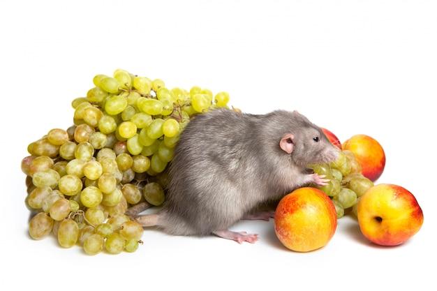 Śliczny szczur dumbo na białym tle na białym tle z owocami. symbol roku szczura.