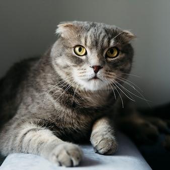 Śliczny szkocki fałdu kot w domu