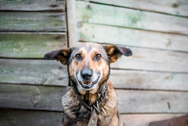 Śliczny uśmiechnięty pies pojedynczo na drewnianym tle śliczny pies pokazuje swoje białe zęby i język