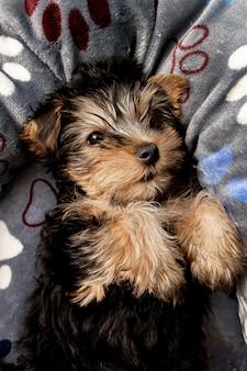 Śliczny yorkshire terrier szczeniak odpoczywa w łóżku