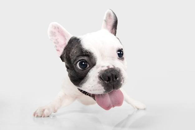 Śliczny zabawny biało-czarny piesek lub zwierzak bawi się i wygląda na szczęśliwego na białym tle
