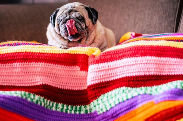 Śliczny zabawny mops pies w domu z ładnym językiem położył się leniwie na kolorowym pokrowcu na sofie