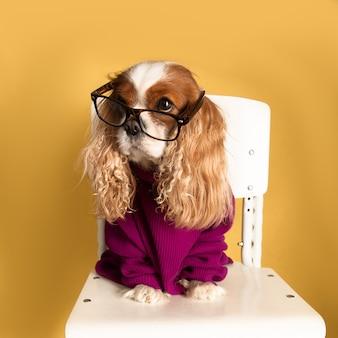 Śliczny zabawny pies cavalier king charles spaniel siedzi na krześle w okularach i swetrze. zwierzęta