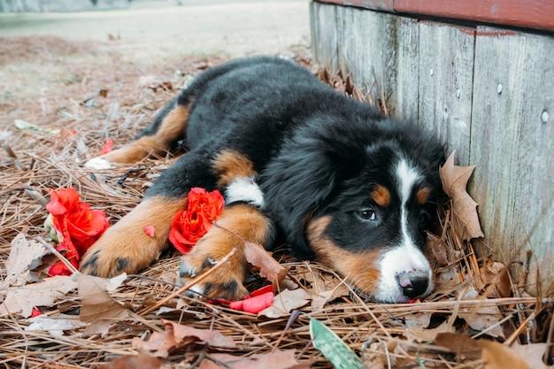 Śliczny zabawny szczeniak berneński pies pasterski leżący na zewnątrz w pobliżu ganku domu