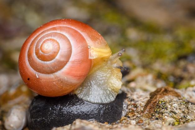Ślimak białowargi lub ślimak pasmowy (cepaea hortensis) czerwony pomarańczowy