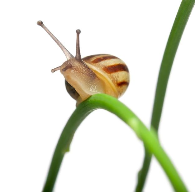 Ślimak biały, znany również jako ślimak piaskowy, biały ślimak włoski, ślimak śródziemnomorski lub ślimak śródziemnomorski, teba pisana, na roślinie przed białym tłem