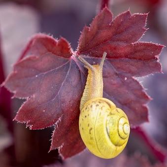 Ślimak czołga się po czerwonym liściu heuchera szkodniki roślin ogrodniczych