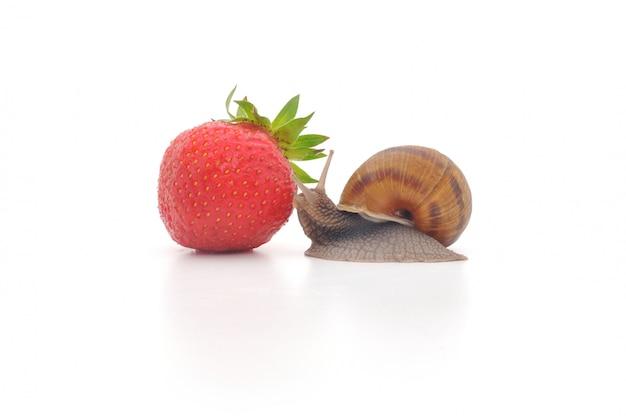 Ślimak i truskawki na białym tle