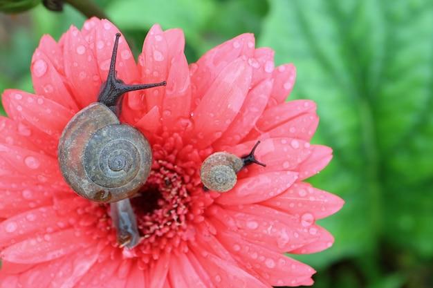Ślimak matka i dziecko ślimak relaksujący razem na koralowym różowym kwiatku gerbera z kropelkami wody