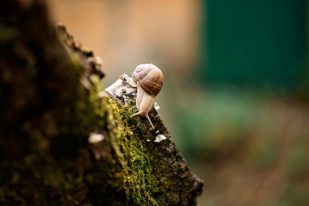 Ślimak na drzewie w mchu w deszczu.