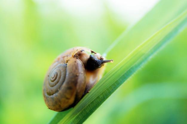 Ślimak na liściu trawy.