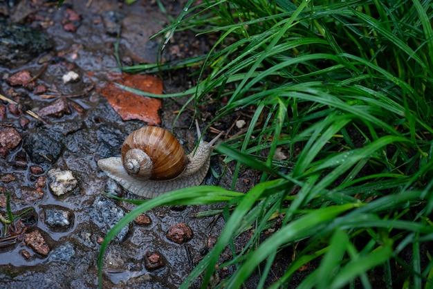 Ślimak ogrodowy skrada się na kamiennej drodze. helix pomatia, pospolite nazwy rzymskie, bordowy ślimak, jadalna escargot. miękka selektywna ostrość.