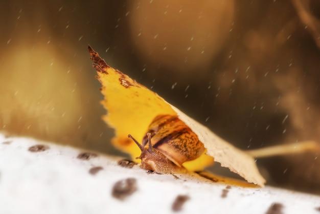 Ślimak osłonięty przed deszczem pod żółtym liściem