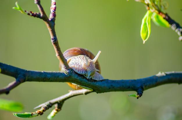 Ślimaki pełzają po drzewach owocowych
