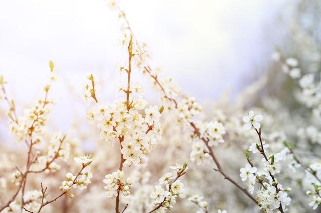 Śliwki lub śliwki kwitną białe kwiaty wczesną wiosną w naturze. selektywna ostrość. migotać