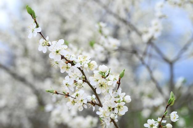 Śliwki lub śliwki kwitną białe kwiaty wczesną wiosną w naturze.