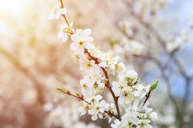 Śliwki lub suszone śliwki kwitną w naturze białe kwiaty wczesną wiosną. selektywna ostrość. migotać