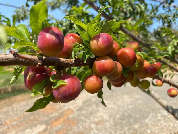 Śliwki na gałęzi drzewa w ogrodzie