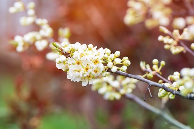 Śliwkowa gałąź kwitnie w ogródzie.
