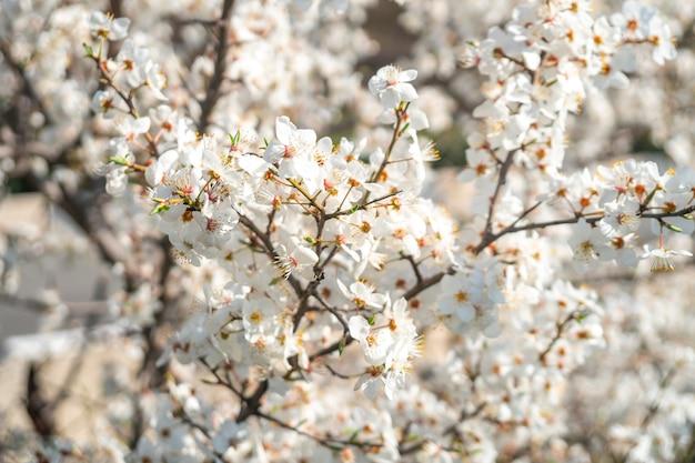 Śliwkowe kwiaty białe na miękkim tle, wiosna
