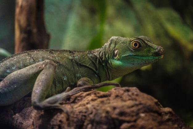 Śliwkowy bazyliszek nazywany jest również powszechnie zielonym bazyliszkiem