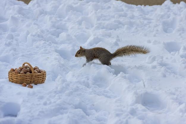 Słodka amerykańska wiewiórka podczas jedzenia orzechów włoskich w zimowej scenie