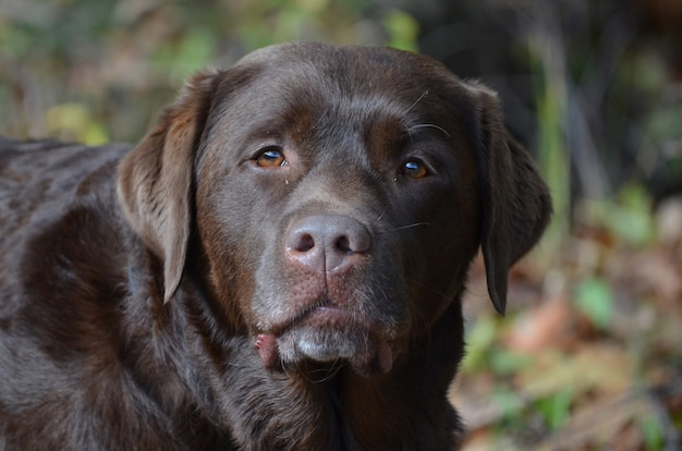 Słodka buzia czekoladowego szczeniaka labrador retriever.