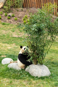 Słodka panda je bambusa