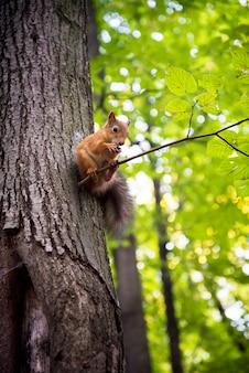 Słodka wiewiórka siedzi na gałęzi drzewa jedząc orzech