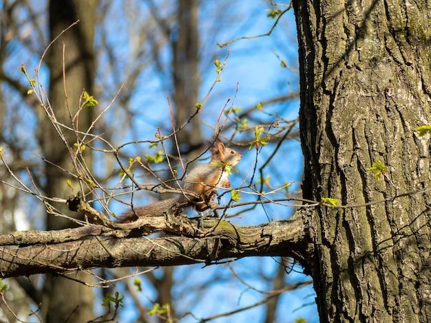 Słodka wiewiórka siedzi na gałęzi drzewa latem w parku