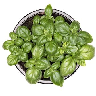 Słodka zielona bazylia liście w doniczce na białym tle