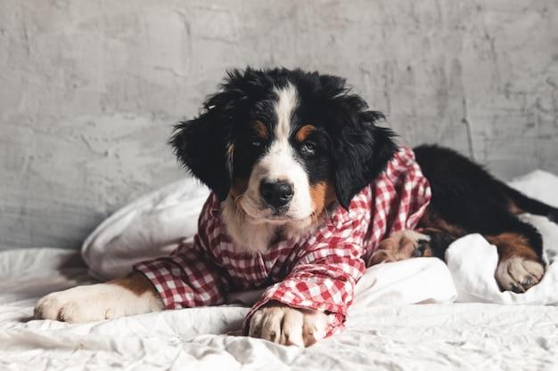 Słodki berneński pies pasterski w czerwonej koszulce na kocu