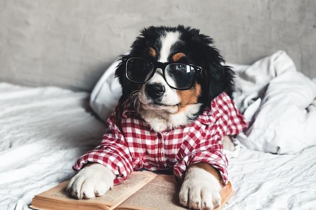 Słodki berneński pies pasterski w czerwonej koszuli na kocu z książką i okularami.