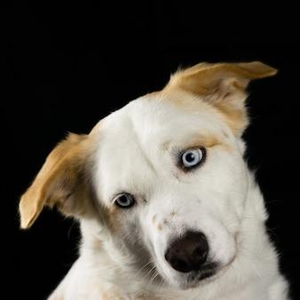 Słodki biały pies z czarnym tłem