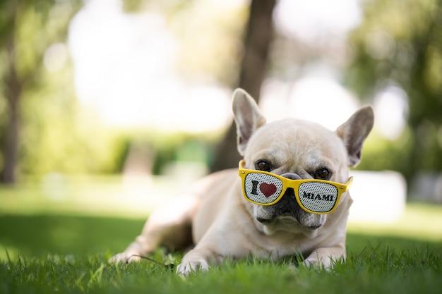 Słodki buldog francuski leżący na polu w okularach przeciwsłonecznych