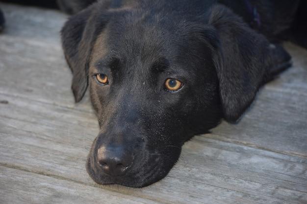 Słodki czarny labrador retriever o bardzo ładnych oczach.