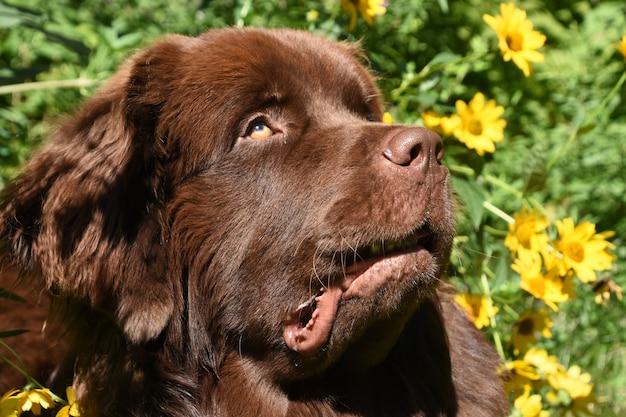 Słodki czekoladowo-brązowy pies nowofundlandzki otoczony żółtymi kwiatami w ogrodzie.