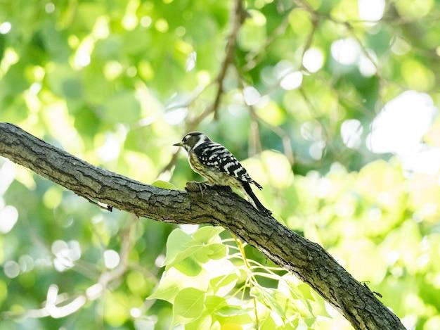 Słodki dzięcioł japoński siedzący na gałęzi drzewa podczas słonecznej pogody