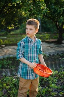 Słodki i szczęśliwy chłopak w wieku przedszkolnym zbiera i zjada dojrzałe truskawki w ogrodzie w letni dzień o zachodzie słońca. szczęśliwe dzieciństwo. zdrowa i przyjazna dla środowiska uprawa.