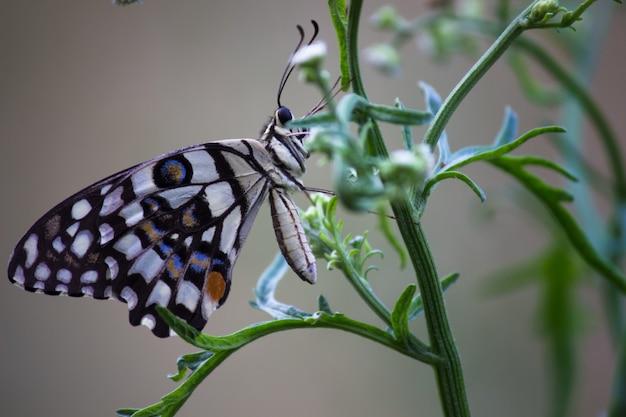 Słodki i uroczy motyl papilio demoleus lub limonkowy spoczywający na świeżych zielonych liściach rośliny