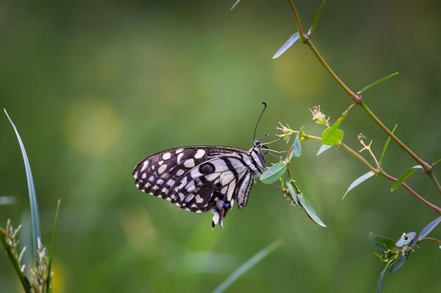 Słodki i uroczy motyl papilio demoleus odpoczywający na świeżych zielonych liściach rośliny
