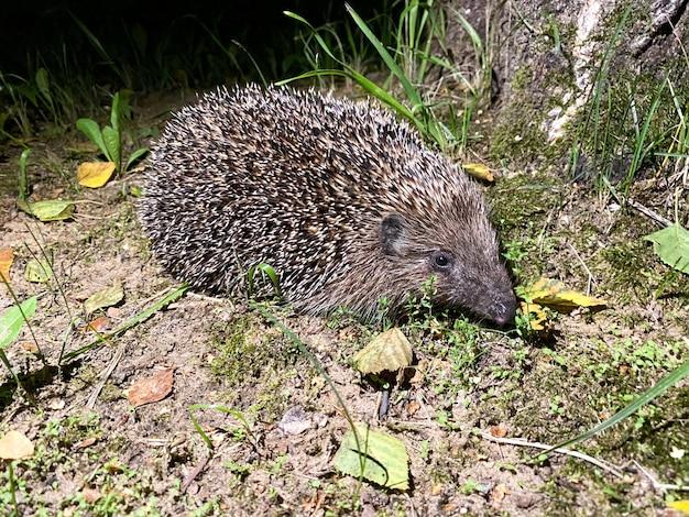 Słodki jeż z rodziny jeżowców erinaceidae wybrał się na nocny spacer w poszukiwaniu jedzenia