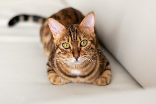 Słodki kociak bengalski leży na sofie