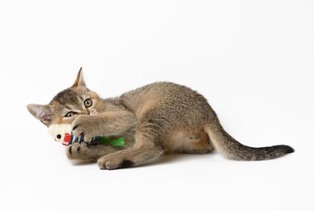 Słodki kociak szkocki prosto bawi się zabawką na białej powierzchni, wesoły kot